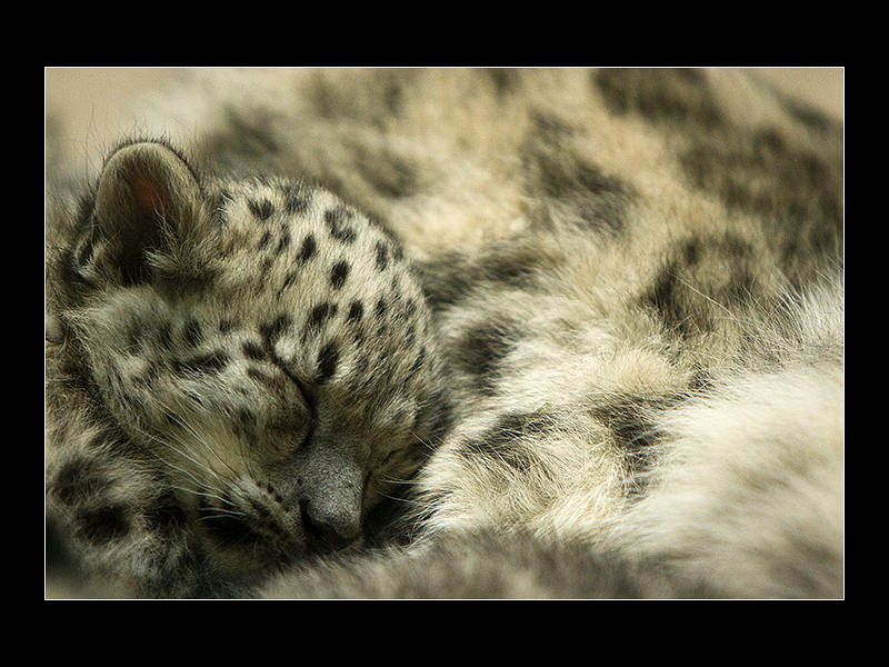 Sleeping Snow Leopard 2