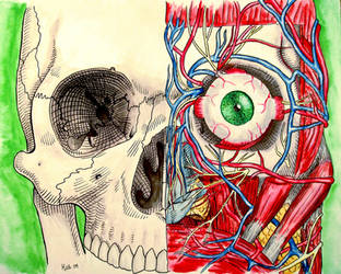 Facial anatomy study by Hjollbert