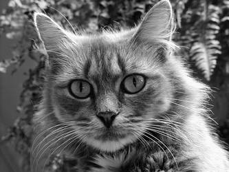Intense Bobcat Scragly by piccolonamek