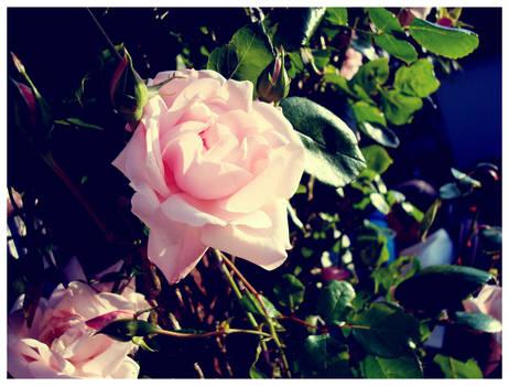 - English Rose -