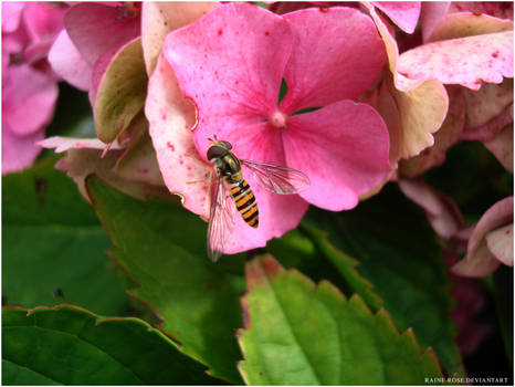 Hover Fly: Serenity win