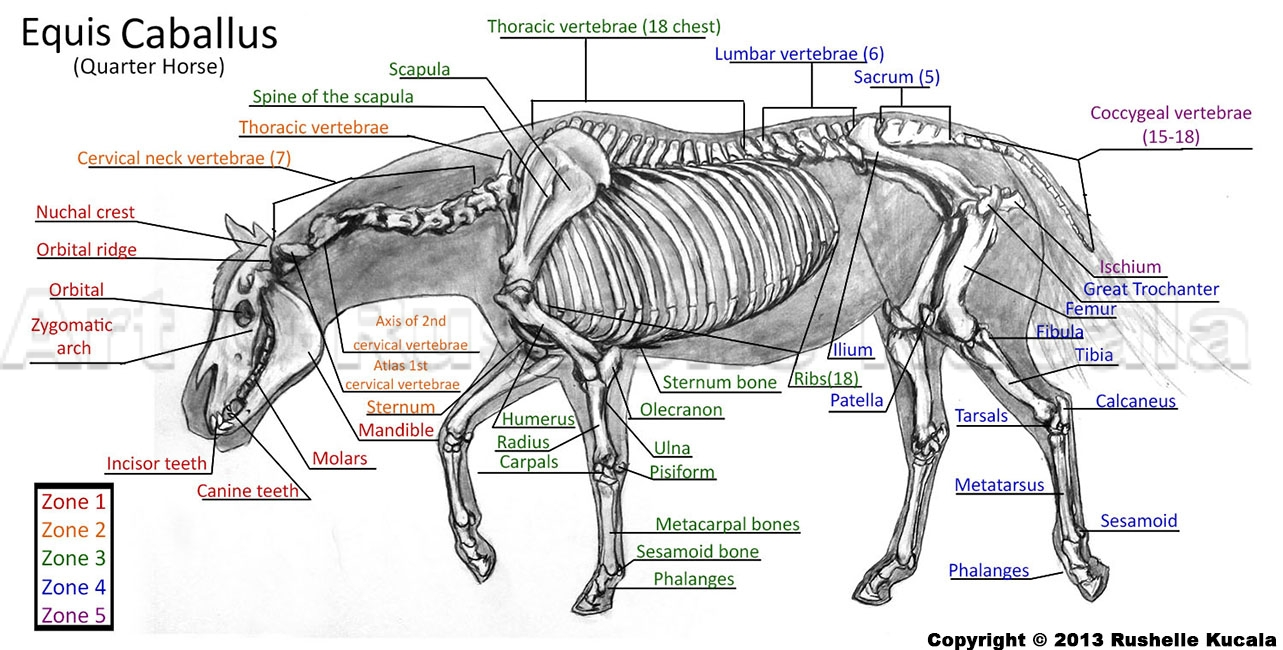 Horse Skeleton Study by TheDragonofDoom on DeviantArt