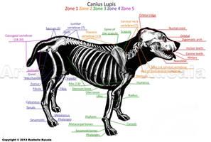 Dog Skeleton Anatomy by TheDragonofDoom