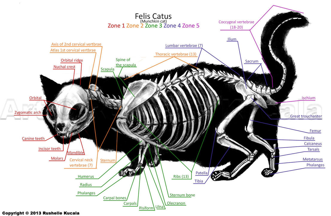 House Cat Body Structure Drawing