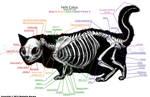 Munchkin Cat Skeleton Anatomy
