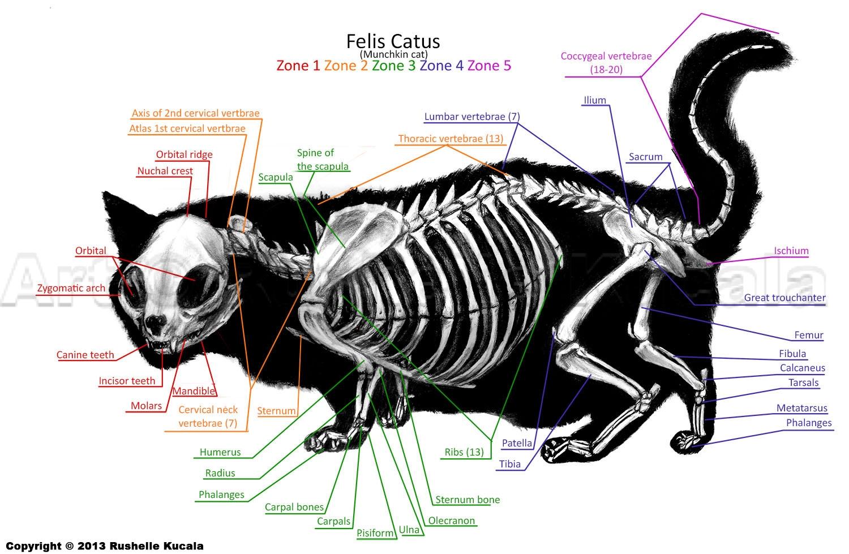 Cat anatomy skeleton