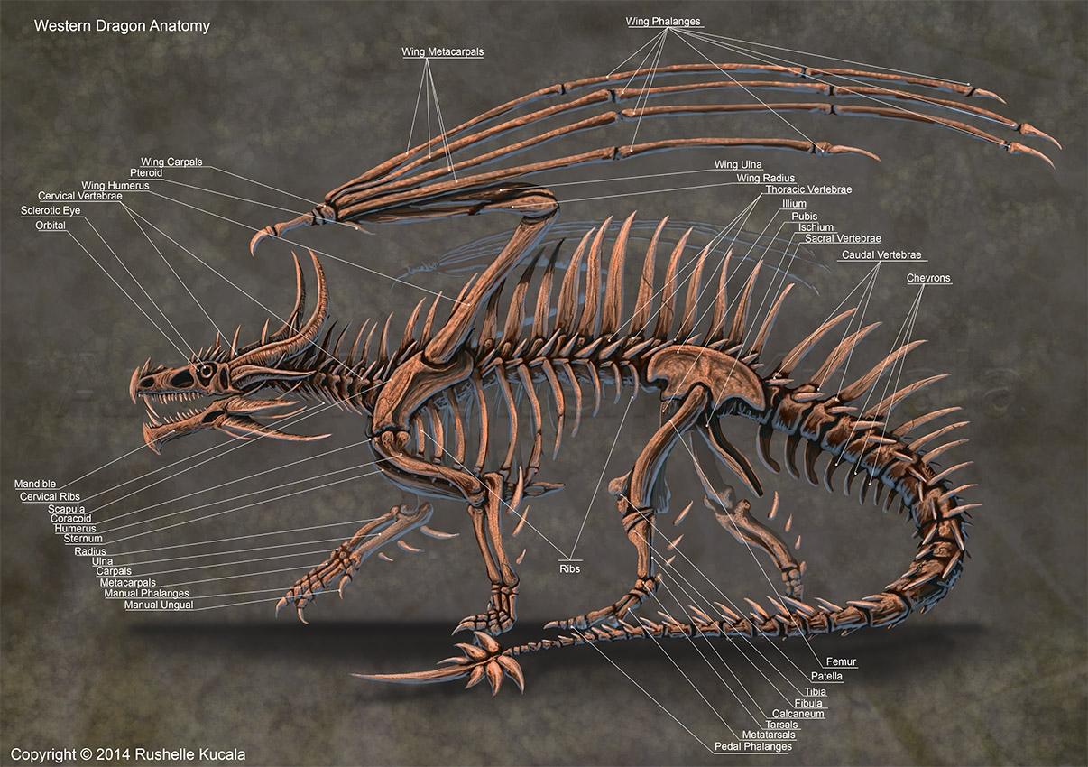 Western Dragon Skeleton Anatomy by TheDragonofDoom