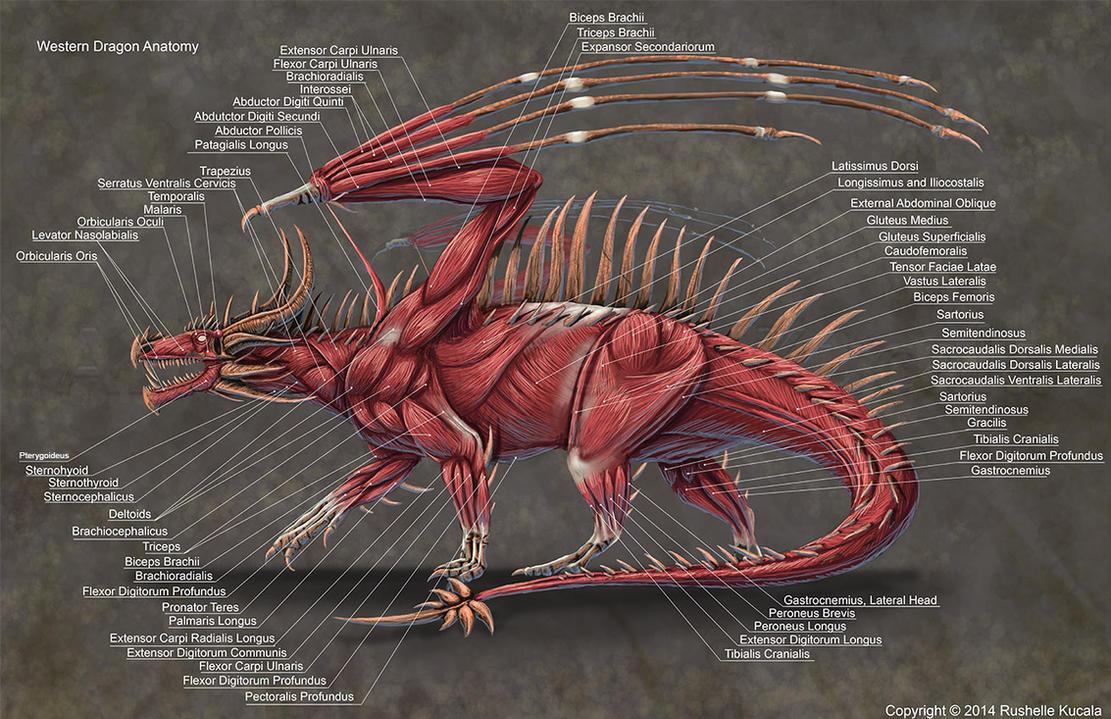Western Dragon Muscle Anatomy by TheDragonofDoom on DeviantArt