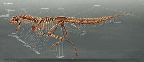 Carnotaurus Skeleton Study by TheDragonofDoom