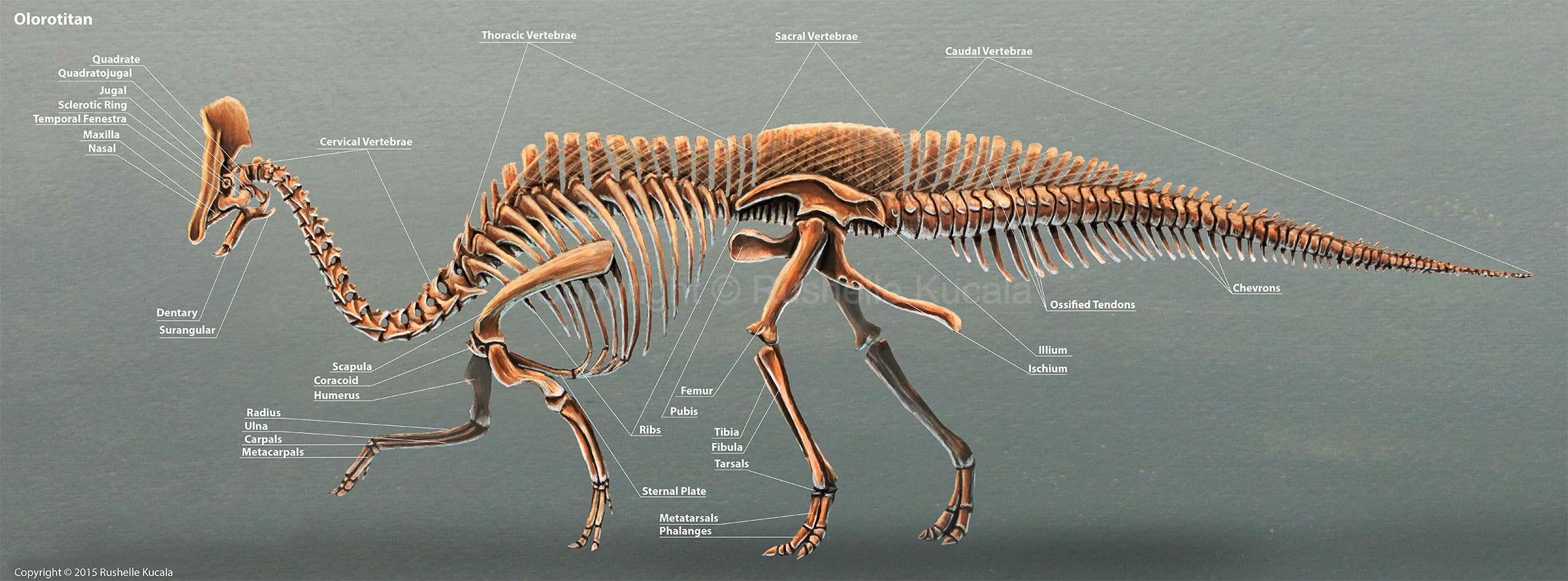 Olorotitan Skeletal Reconstruction by TheDragonofDoom