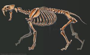 Smilodon Populator Skeleton Study No Labels
