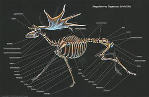 Megaloceros Giganteus Skeletal Study by TheDragonofDoom