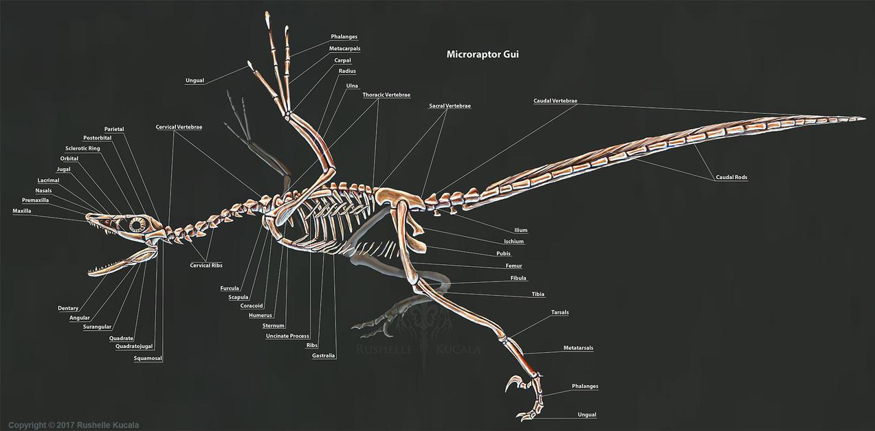 Raptor 2018 Wallpaper >> Microraptor Gui Skeleton Study by TheDragonofDoom on DeviantArt