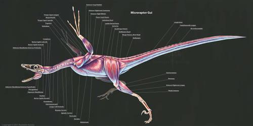 Microraptor Gui Muscle Study by TheDragonofDoom
