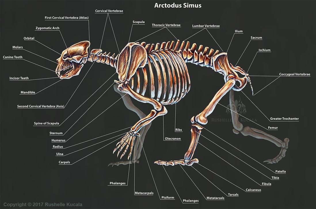 Arctodus Simus Skeletal Study by TheDragonofDoom on DeviantArt