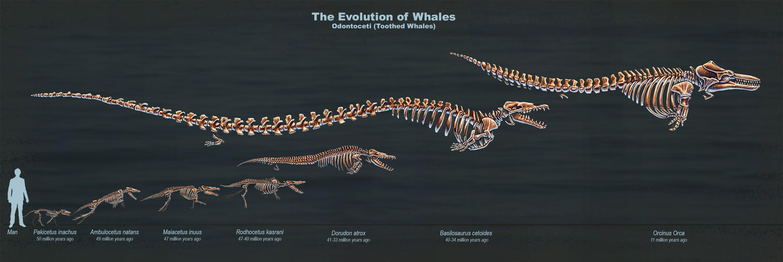 The Evolution Of Toothed Whales Skeletal Study By Thedragonofdoom