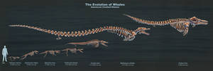 The Evolution of Toothed Whales (Skeletal Study)