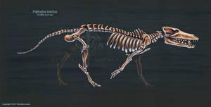 Pakicetus Inachus Skeletal Study