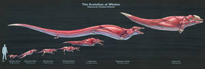 The Evolution of Toothed Whales (Muscle Study)