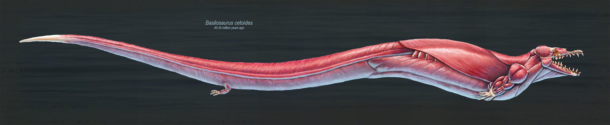Basilosaurus Cetoides Muscle Study by TheDragonofDoom