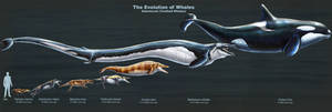 The Evolution of Toothed Whales (Restored)
