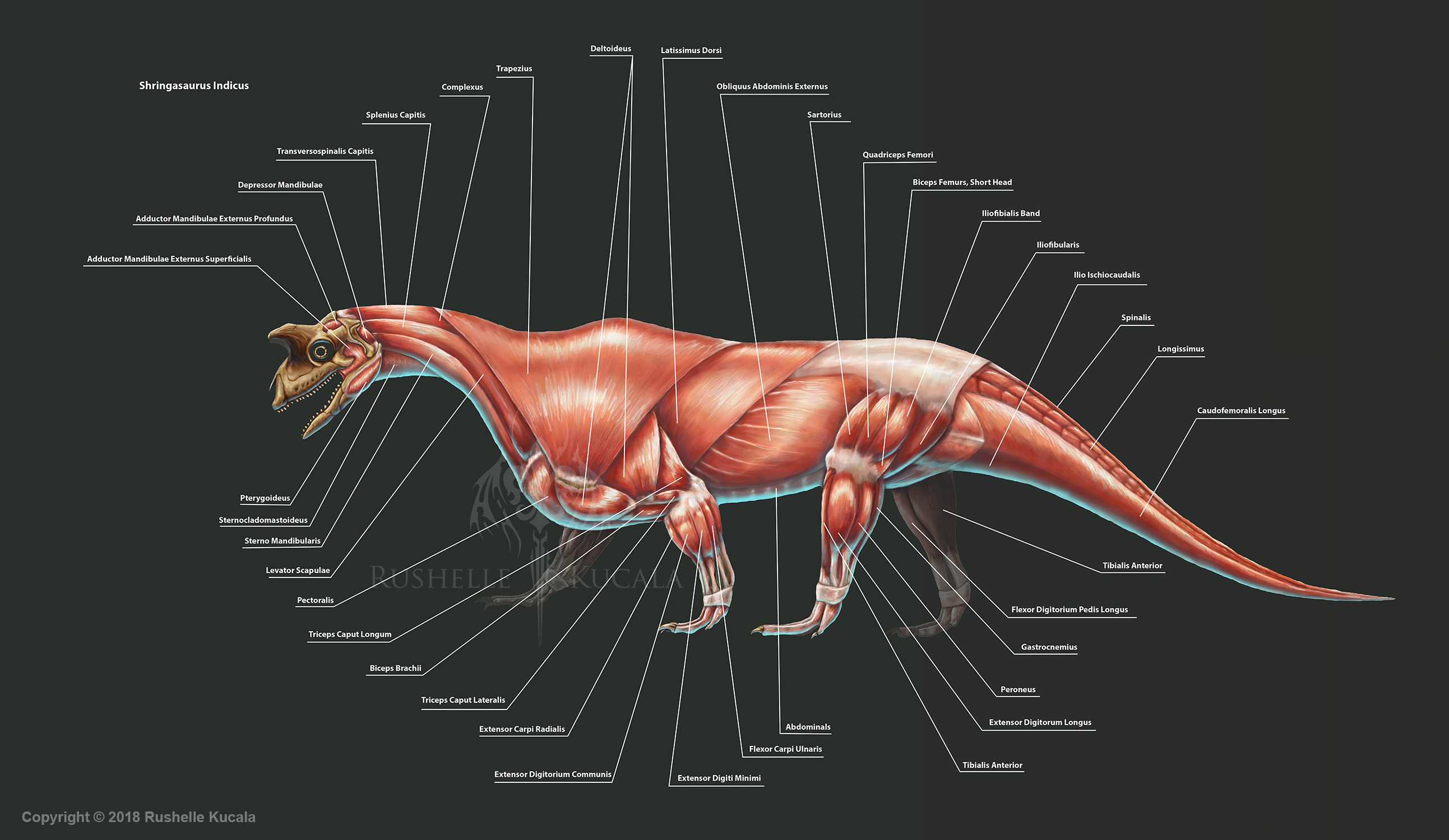 Shringasaurus Indicus Muscle Study by TheDragonofDoom