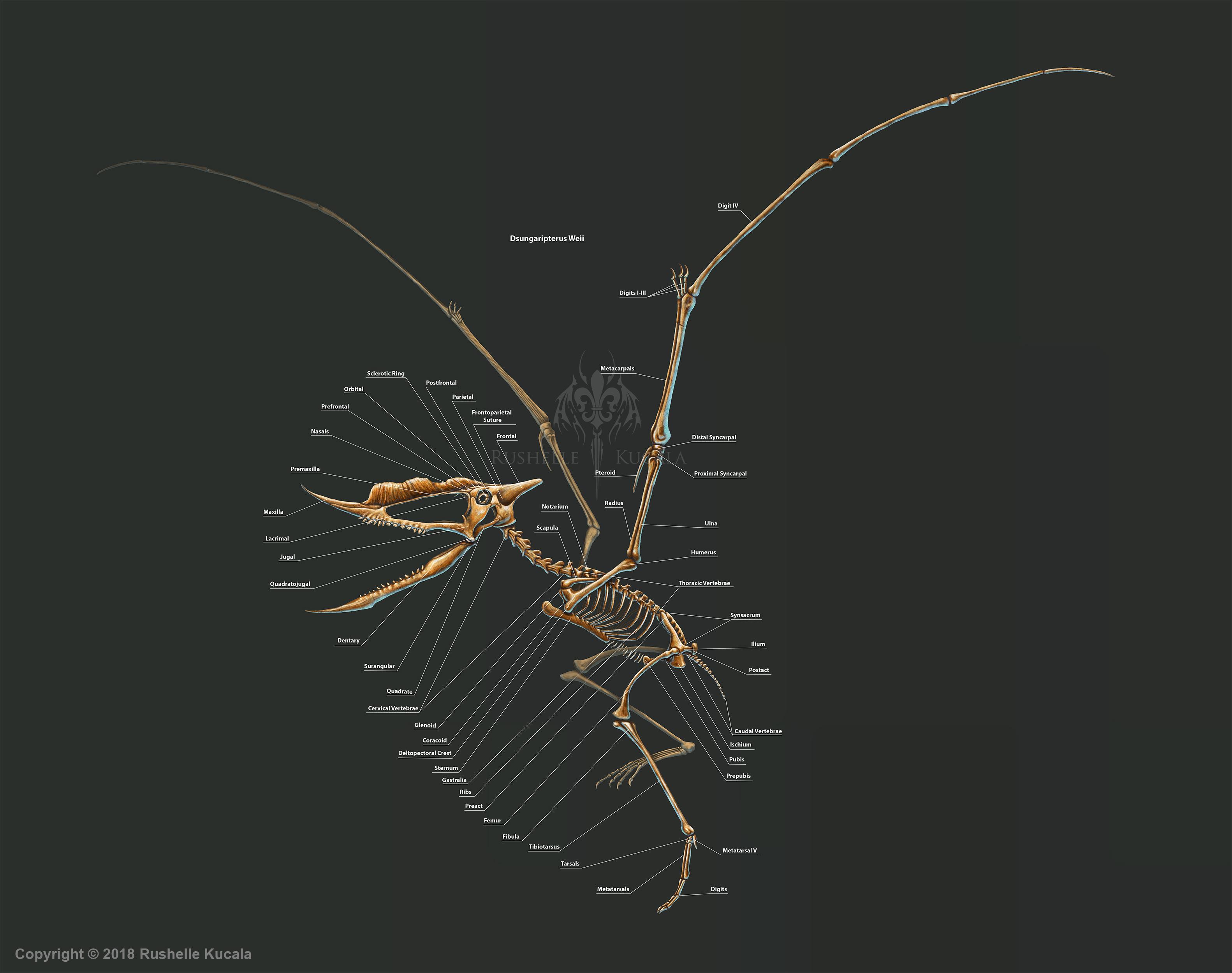 Dsungaripterus Weii Skeleton Study by TheDragonofDoom