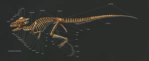 Pachycephalosaurus Wyomingensis Skeleton Study