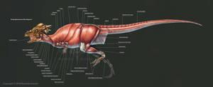 Pachycephalosaurus Wyomingensis Muscle Study