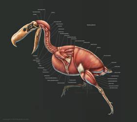 Kelenken Guillermoi Muscle Study by TheDragonofDoom