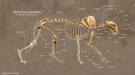 Machairodus Aphanistus Skeleton Study by TheDragonofDoom