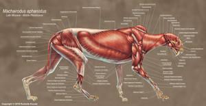 Machairodus Aphanistus Muscle Study