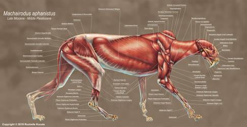 Machairodus Aphanistus Muscle Study by TheDragonofDoom