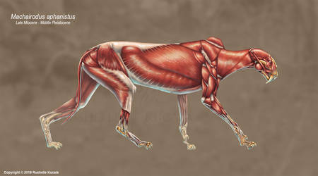 Machairodus Aphanistus Muscle Study (No Labels) by TheDragonofDoom