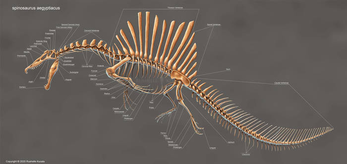 Spinosaurus Aegyptiacus Skeleton Study