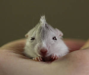 Gerbil with a 'do. by MinionofSloth