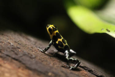 Thumbnail Dart Frog