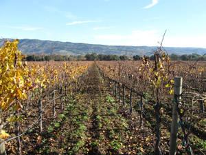 Harvest Time in Napa