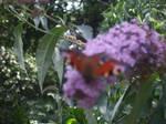 Butterfly VIII