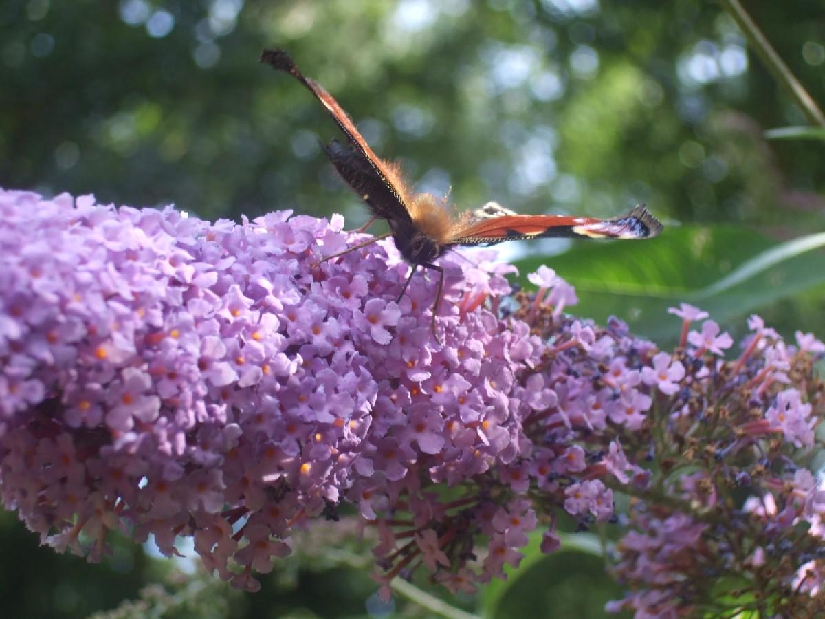 Butterfly IX