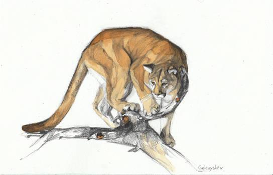 Tea cougar