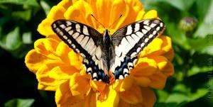 Papilio machaon by vertiser