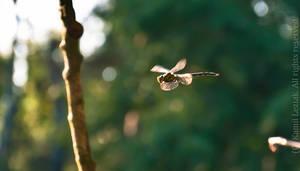 Dragonfly during flight