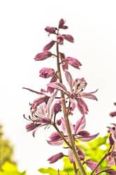 Dangerous beauty - Dictamnus albus by vertiser