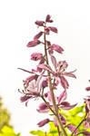 Dangerous beauty - Dictamnus albus