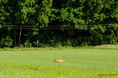 Roe deer by vertiser
