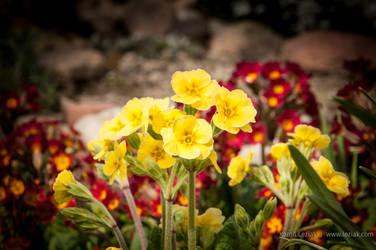 Yellow flowers by vertiser