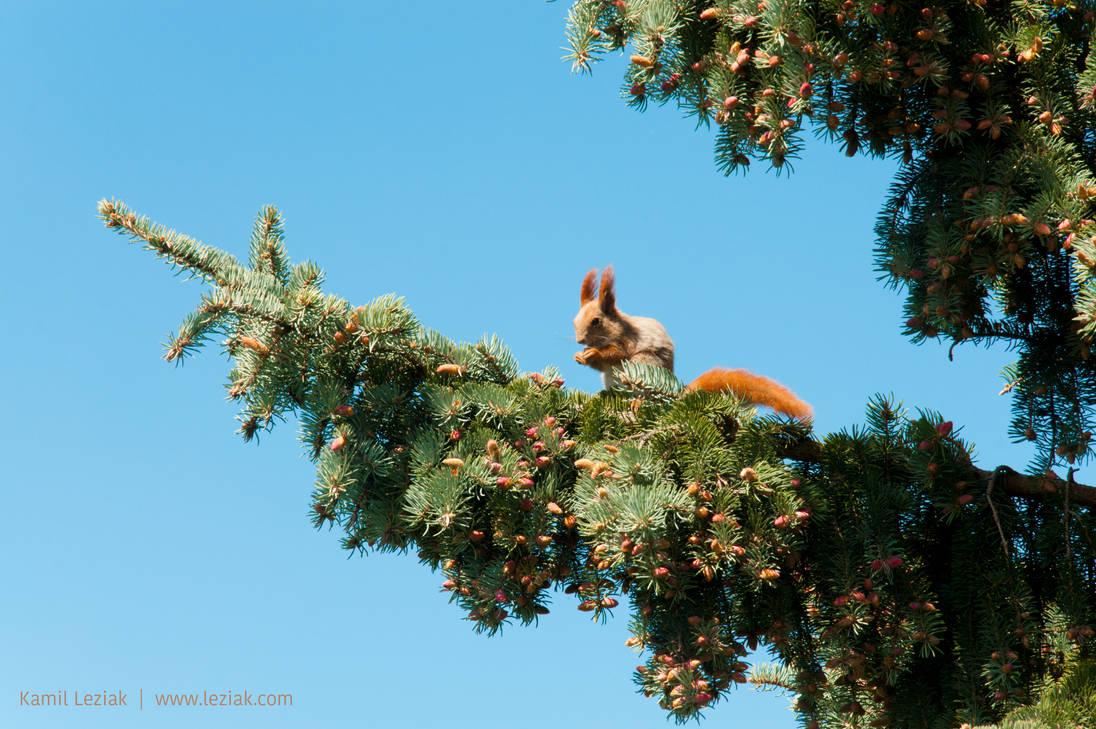 Squirrel on a pine by vertiser