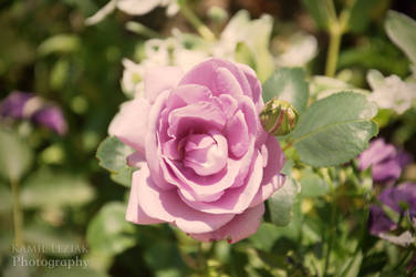 Pink rose by vertiser