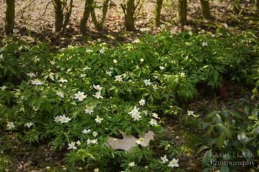 Wood anemone by vertiser